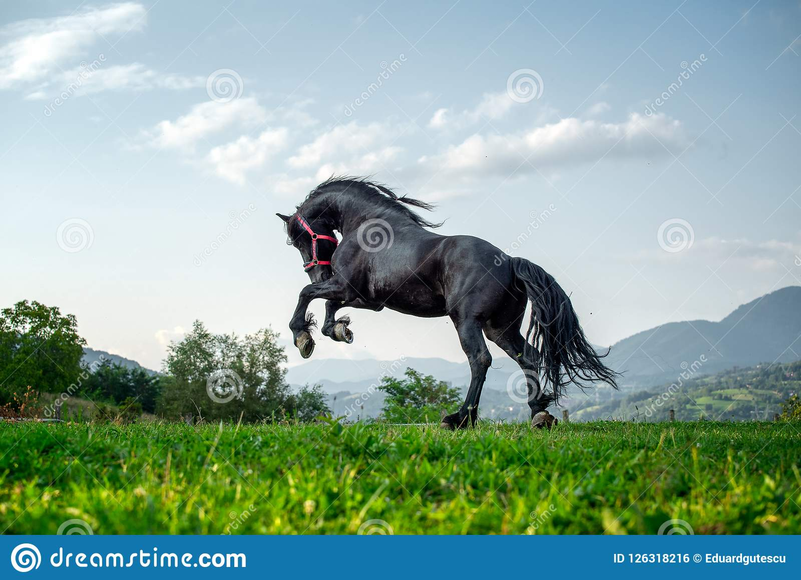 Black Friesian Horse Running At The Mountain Farm In Romania Black Beautiful Horse Stock Photo Image Of Stallion Farm 126318216