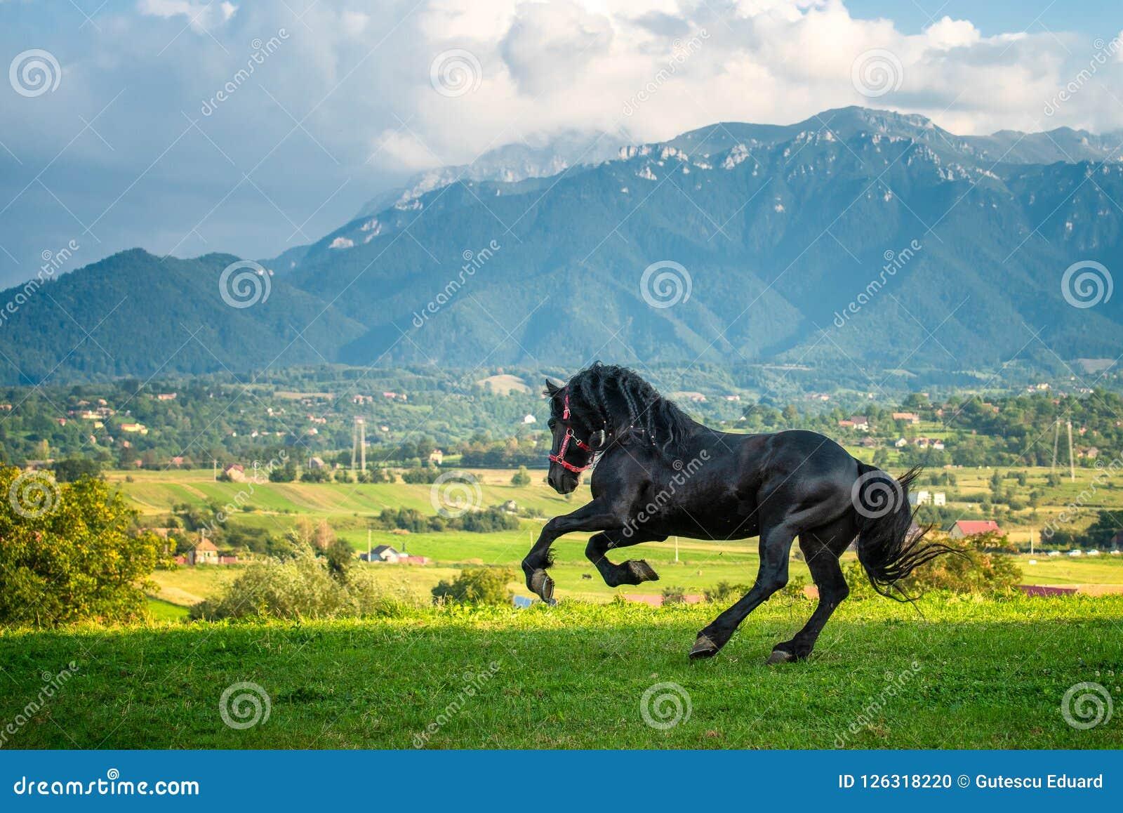Black friesian horse running at the mountain farm in Romania, black beautiful horse