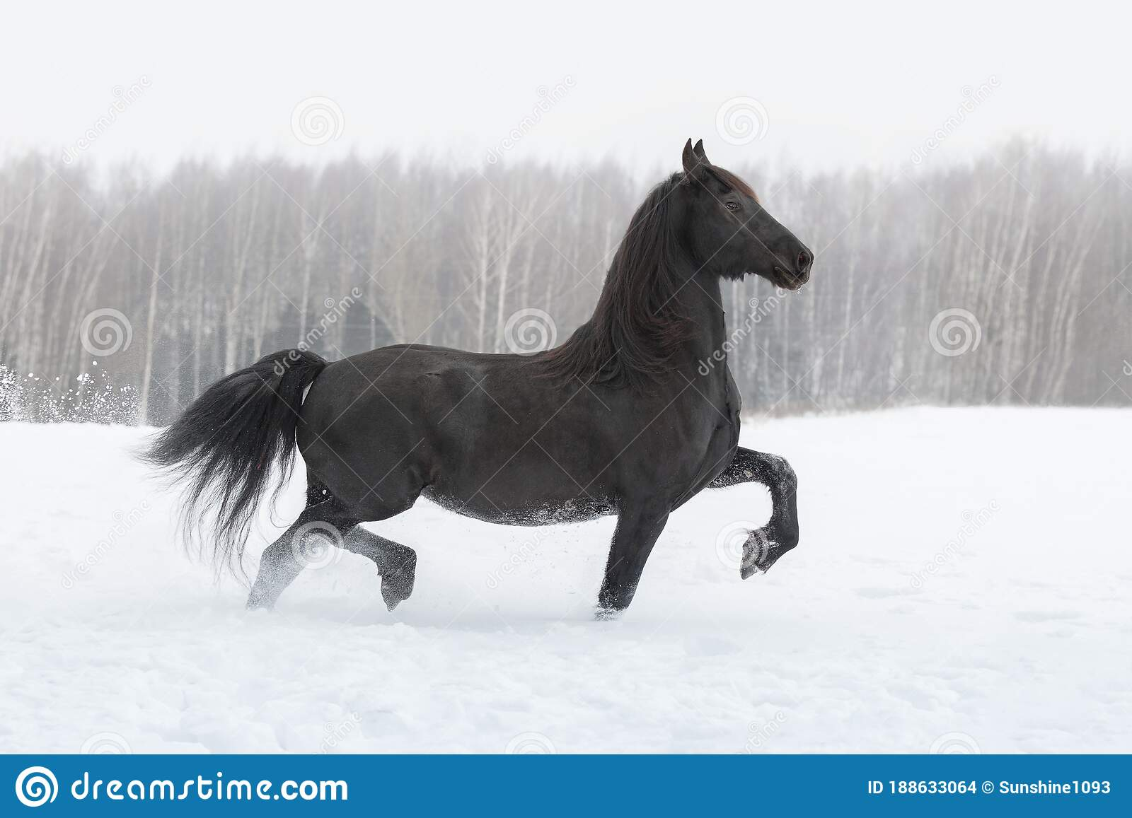 Black Friesian Horse Running On The Snow Covered Field Stock Photo Image Of Breed Beautiful 188633064