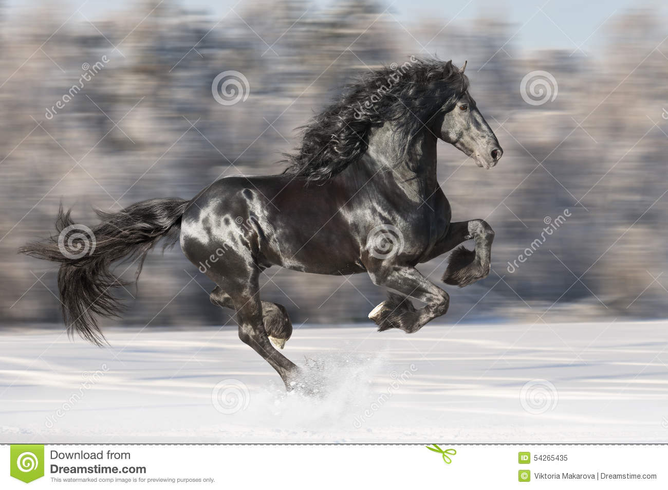 Black Friesian horse runs gallop on blurred winter background
