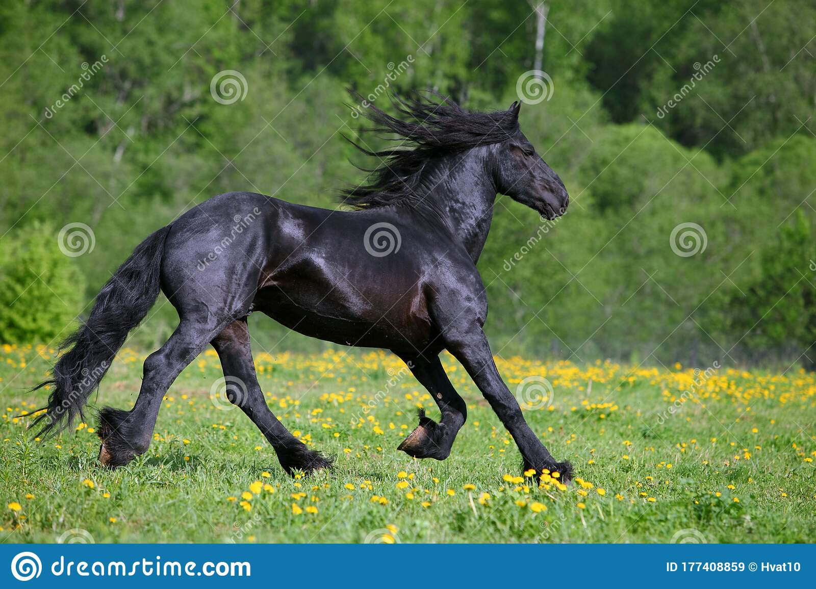 Black Friesian Horse Runs Gallop In Freedom Stock Image Image Of Action Jump 177408859
