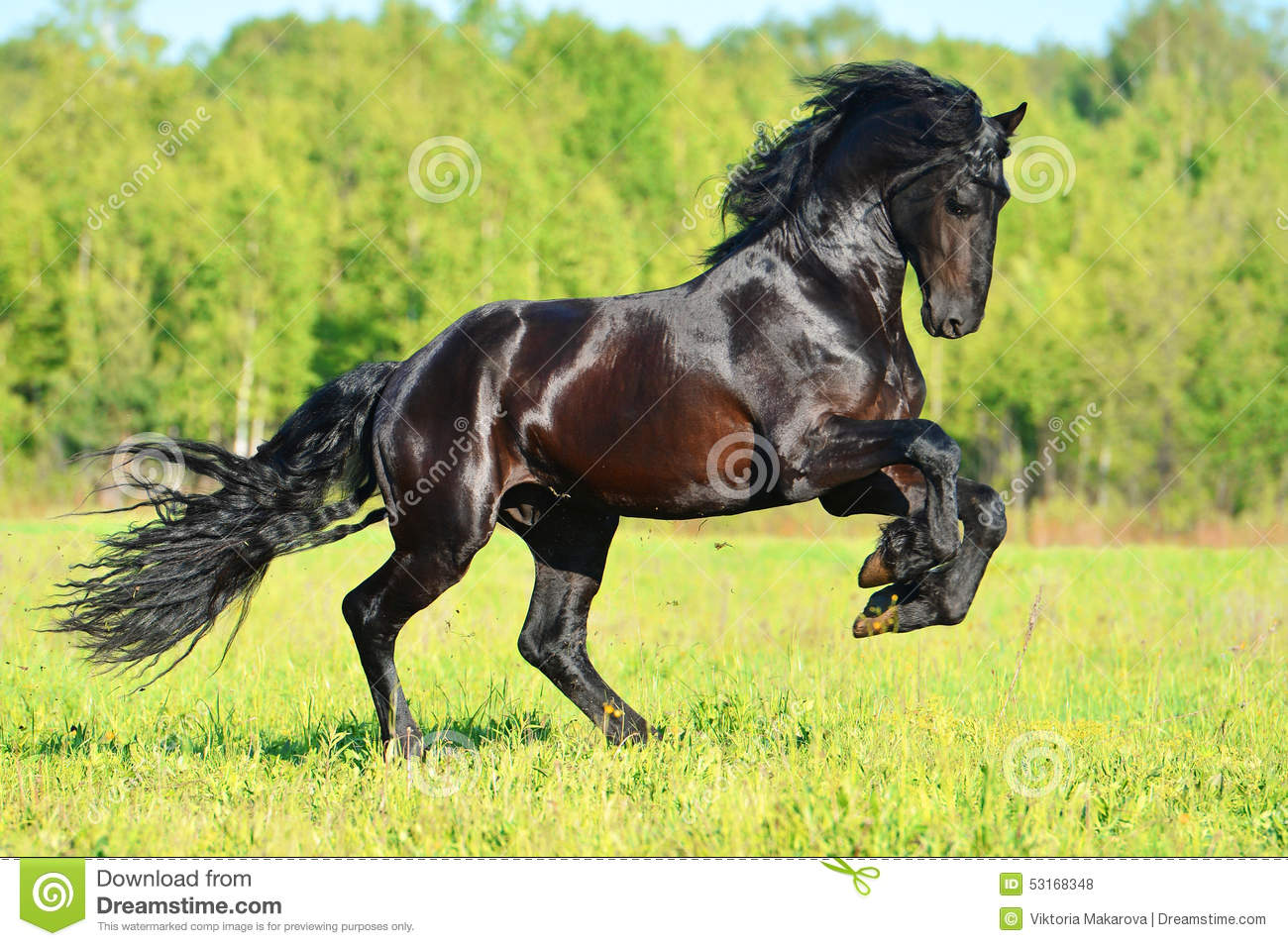 Black Friesian horse runs gallop in freedom
