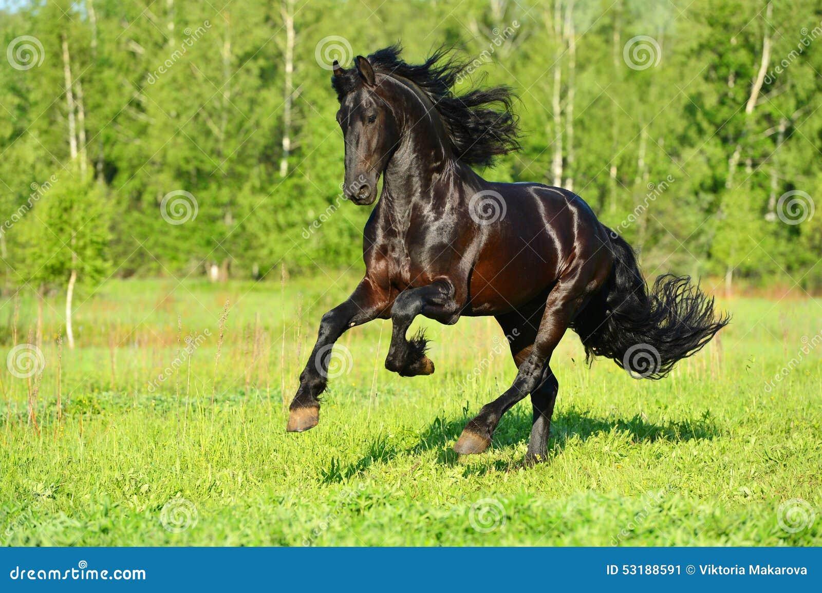 Black Friesian horse runs gallop in freedom