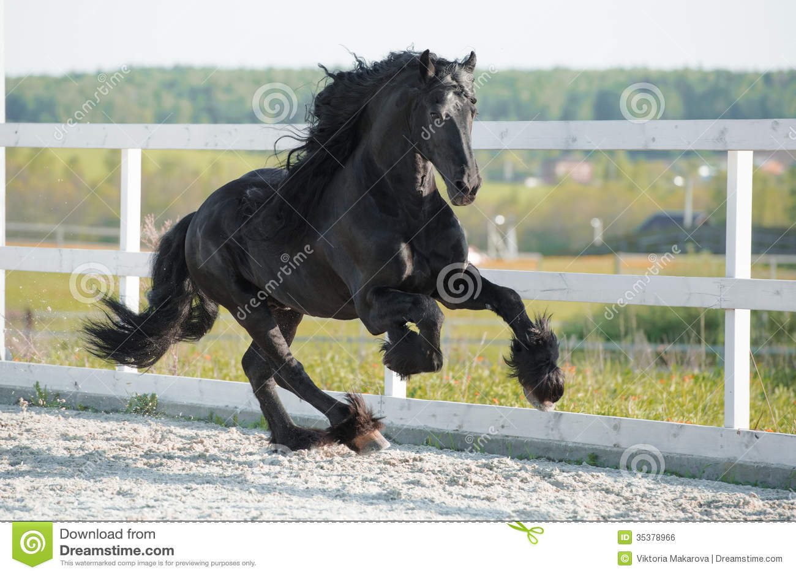 Black Friesian horse runs gallop in summer