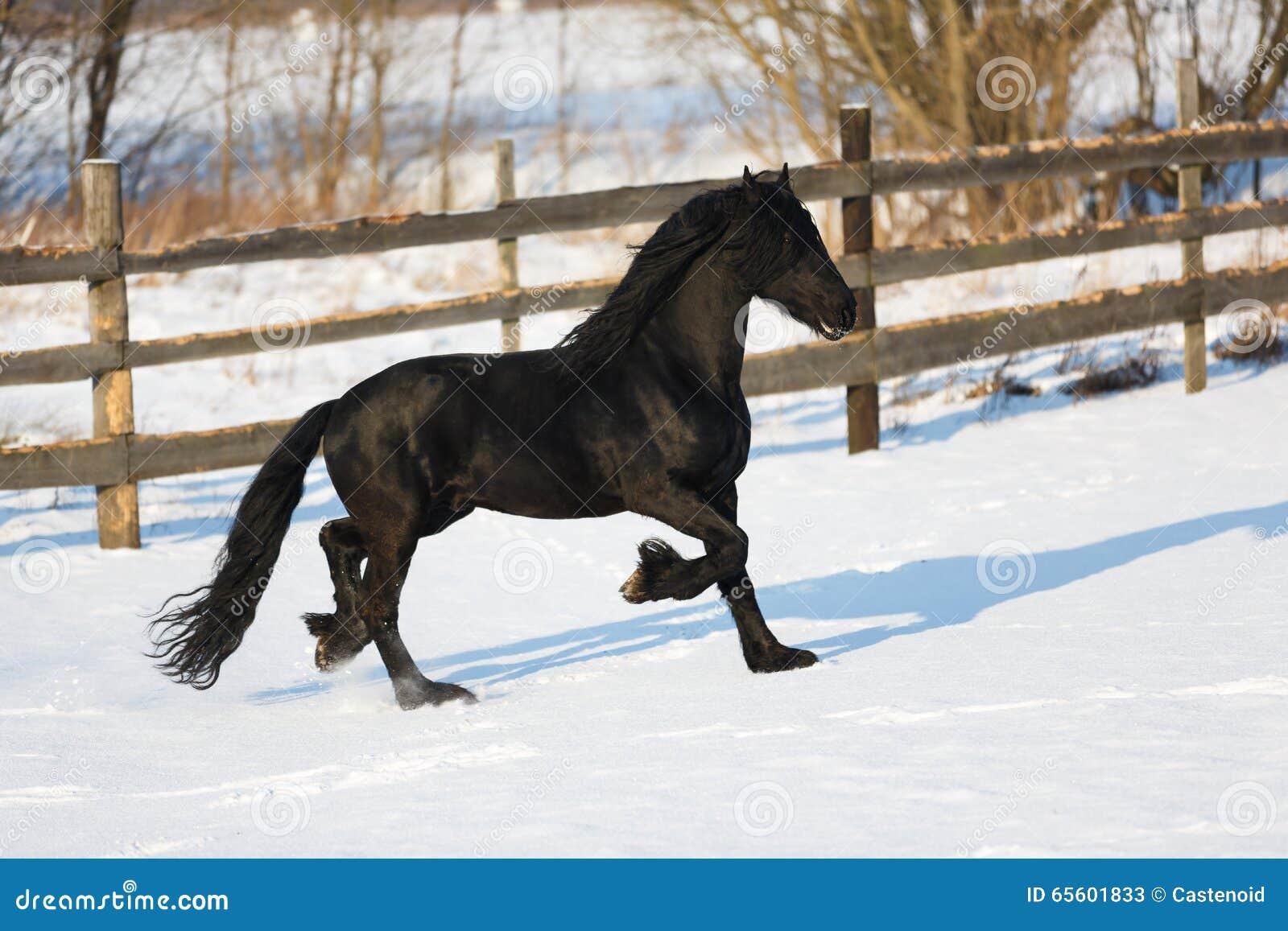 Black frisian horse in winter