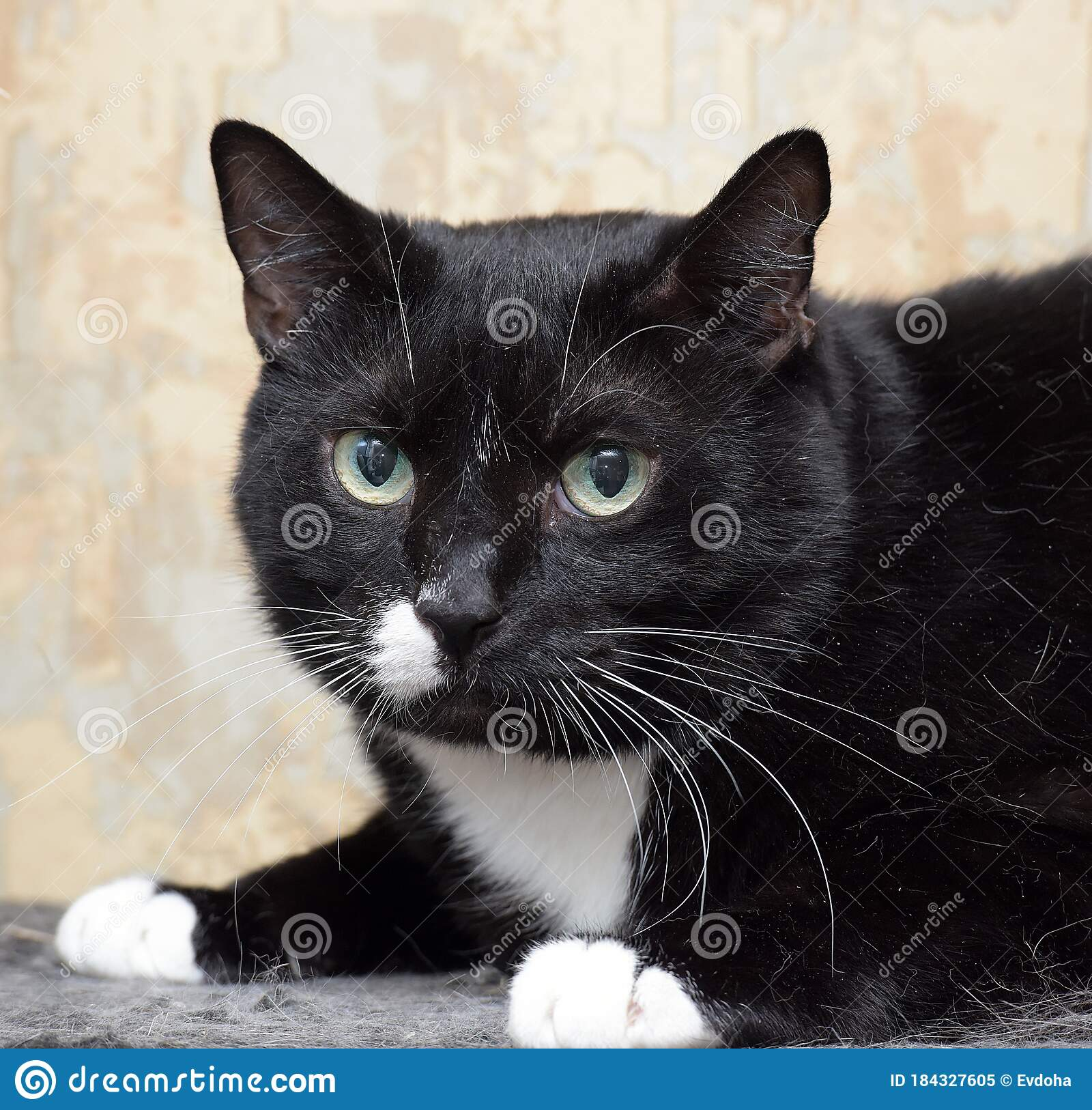Black Cat With A White Spot On The Face Stock Image ...