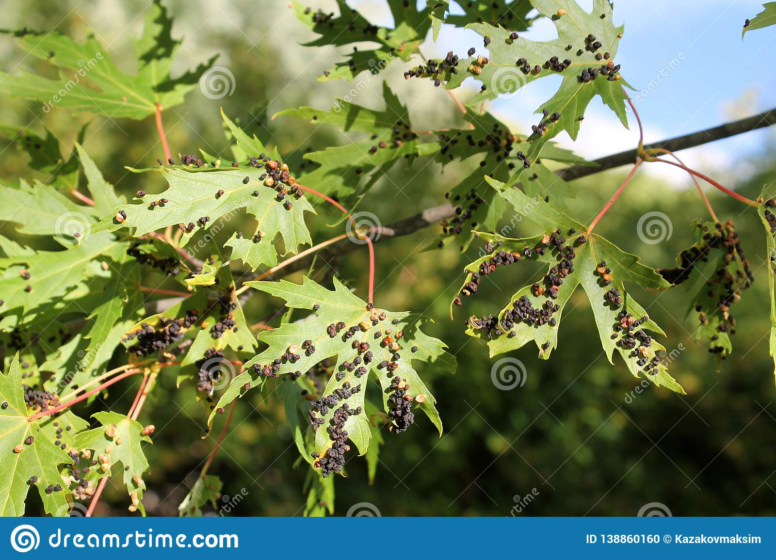 Black galls caused by maple bladder-gall mite or Vasates quadripedes on Silver Maple Acer saccharinum foliage