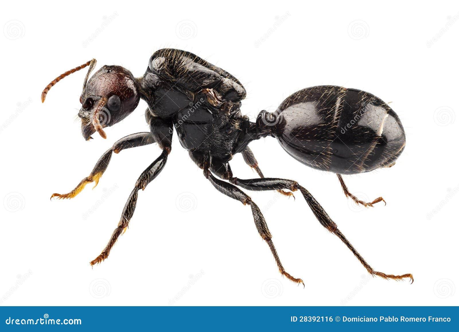 Black Garden Ant Species Lasius Niger Stock Photo - Image of focus ...