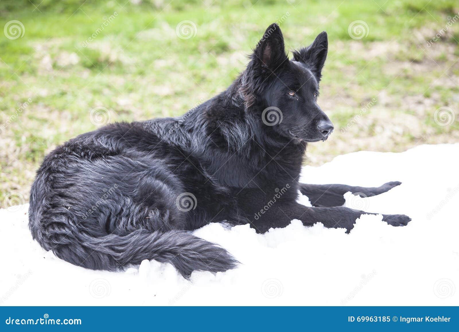 Black German Shepherd Dog Stock Image Image Of Clever 69963185