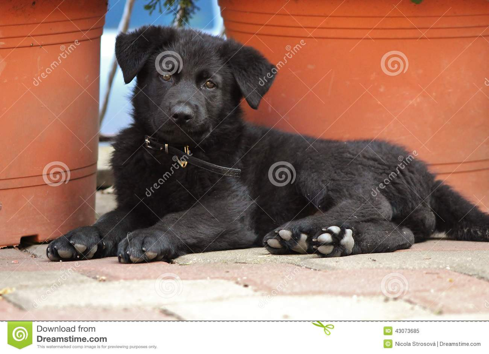 Black German Shepherd Puppy Stock Image Image Of Months Puppy 43073685