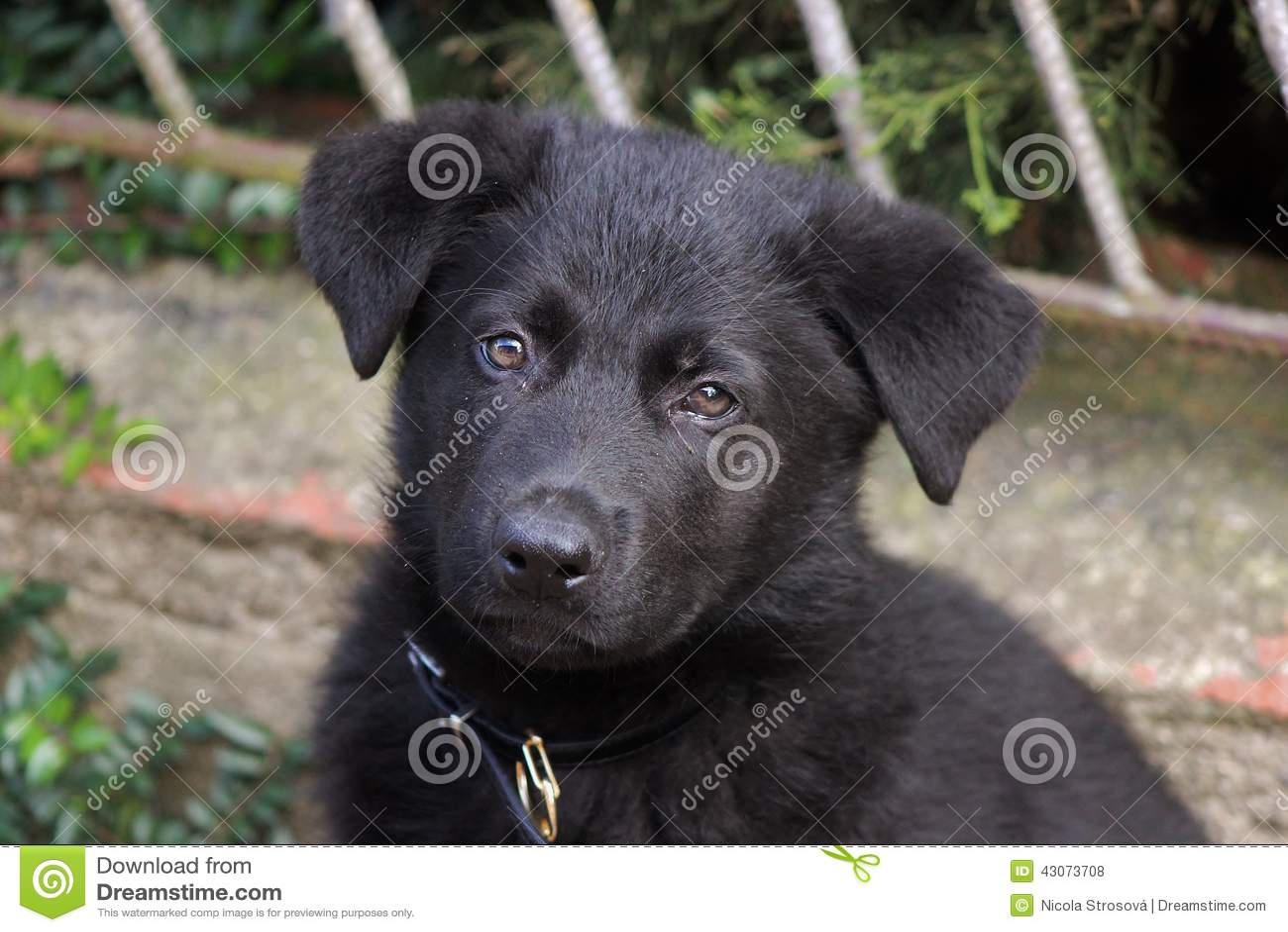 Black German Shepherd Puppy Stock Photo Image Of Shepherd Grass 43073708