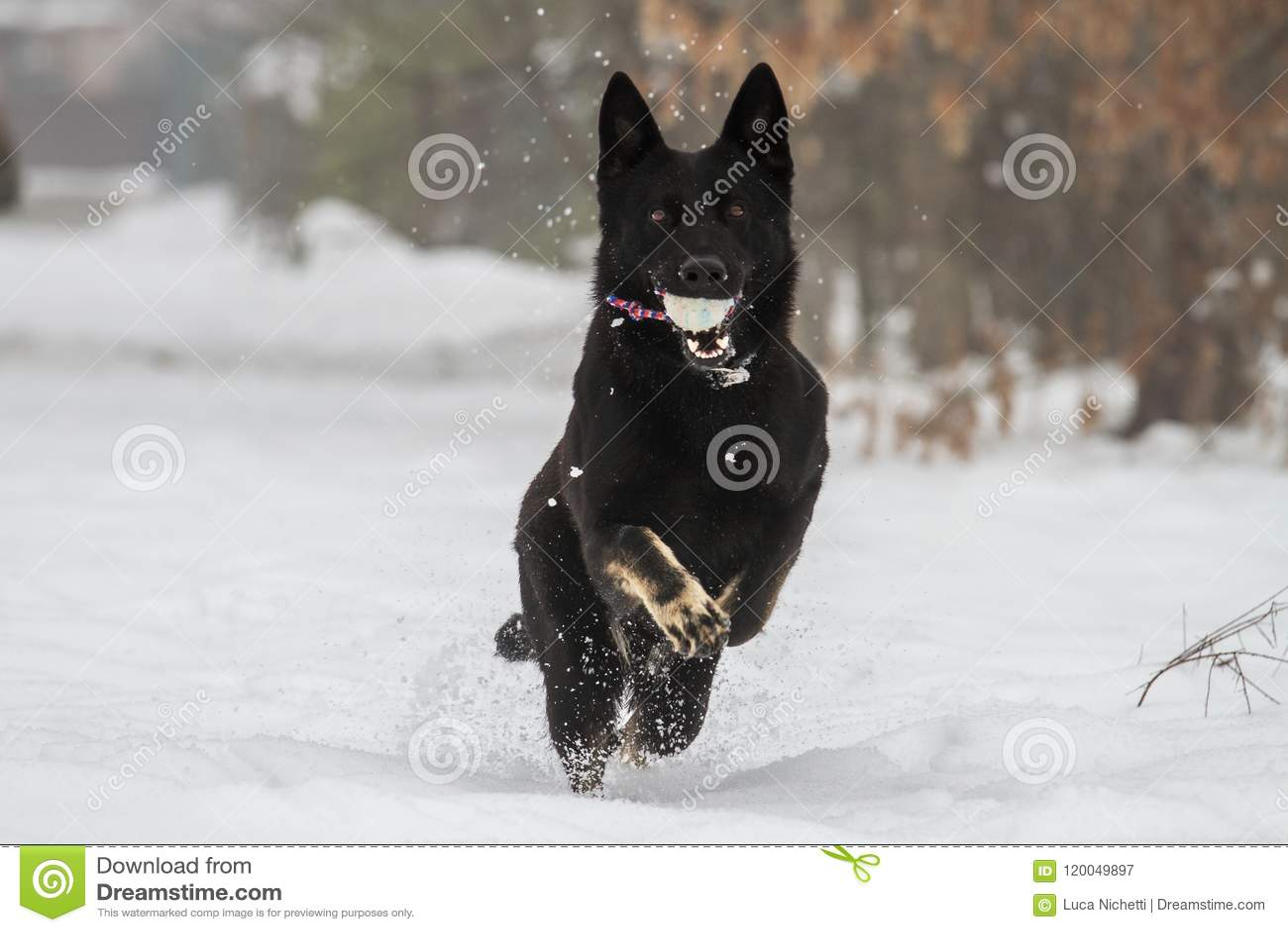 Black German Shepherd Training In The Snow Italy Stock Image