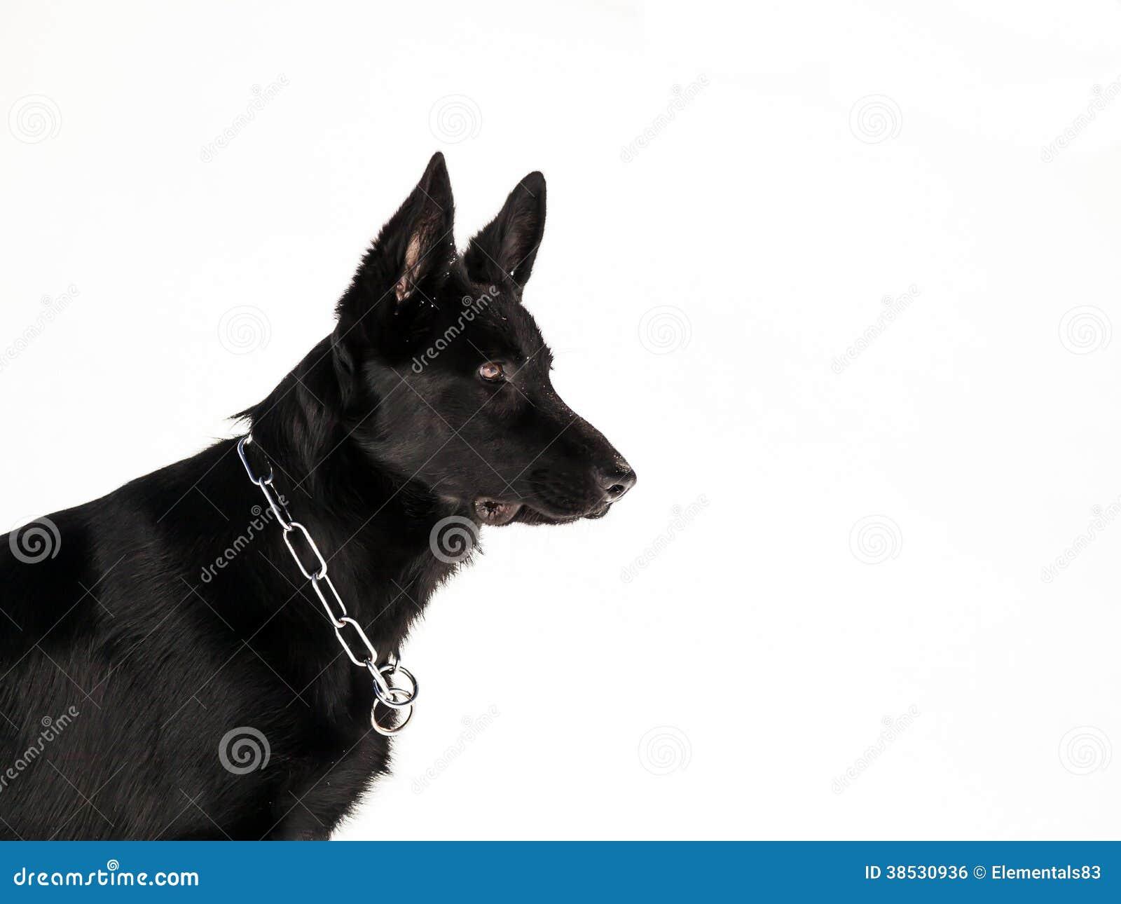 Black German Shepherd Stock Photo Image Of Portrait 38530936