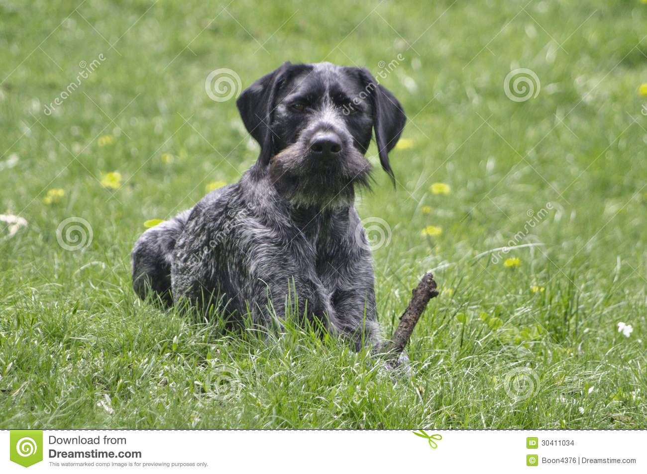 black german wirehaired pointer drahthaar stock photo