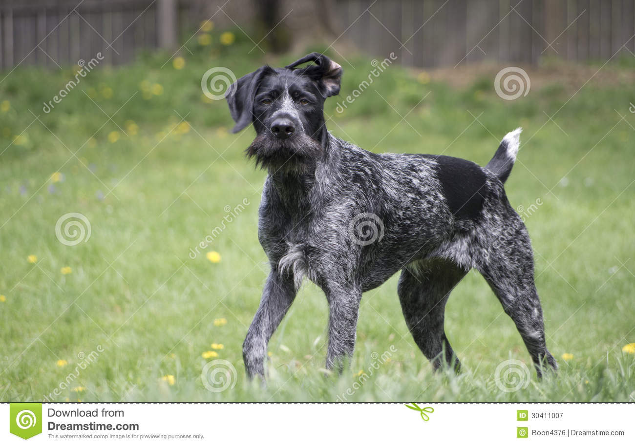 Black German Wirehaired Pointer Drahthaar Stock Image - Image of ...
