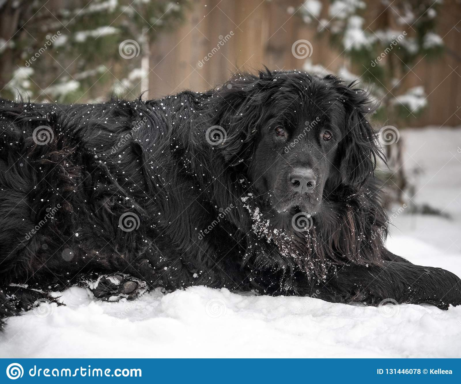 Black giant breed newfoundland dog laying in snow.