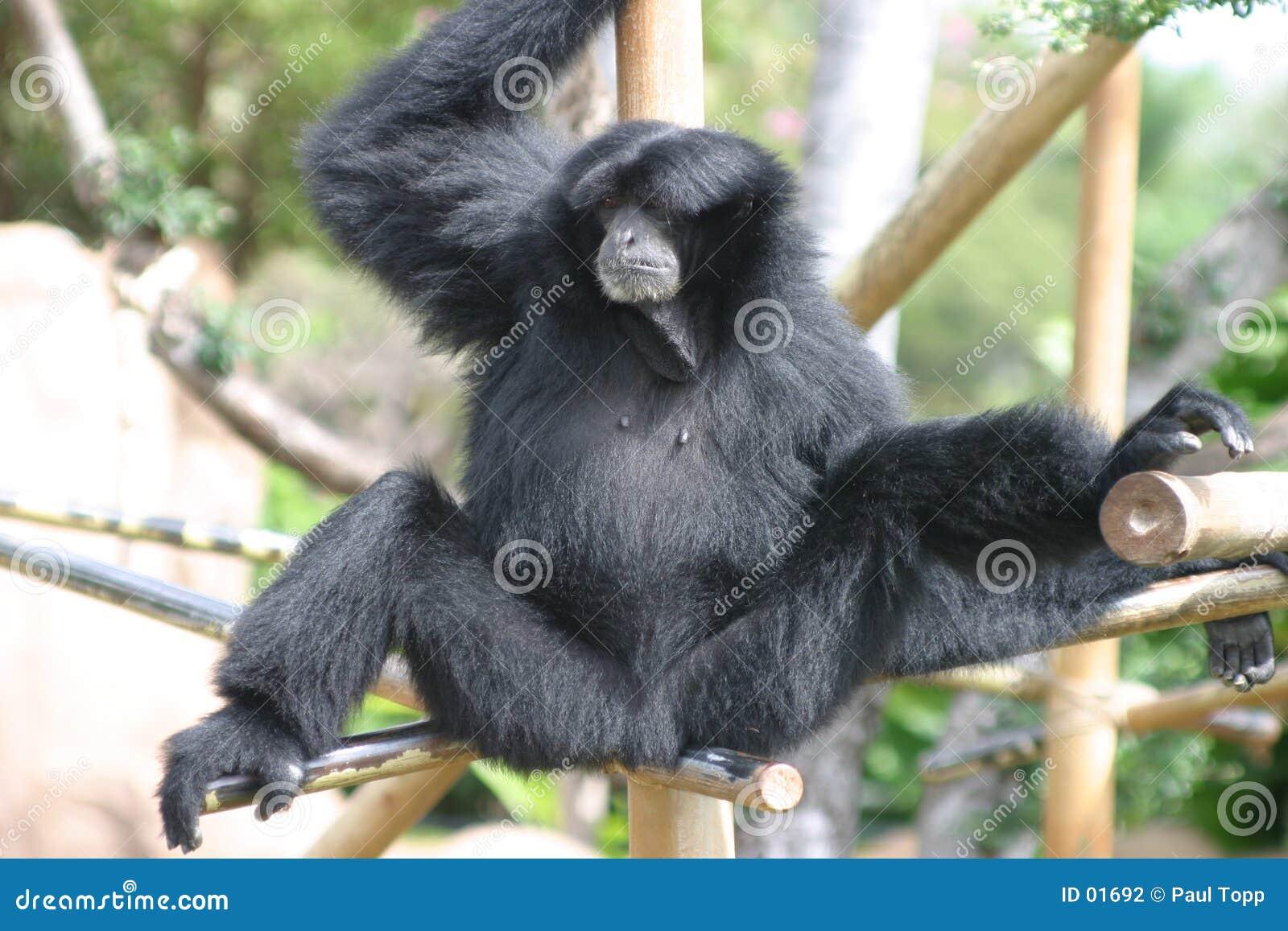 Black Gibbon Monkey in a Zoo