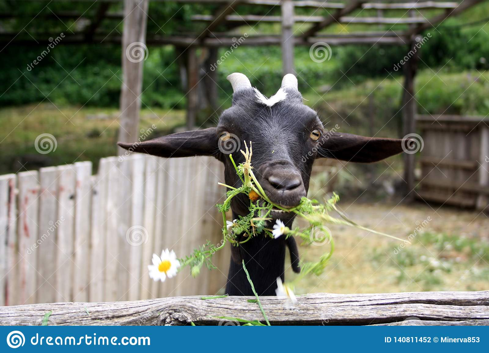 Black goat eating camomiles, grass in the yard.