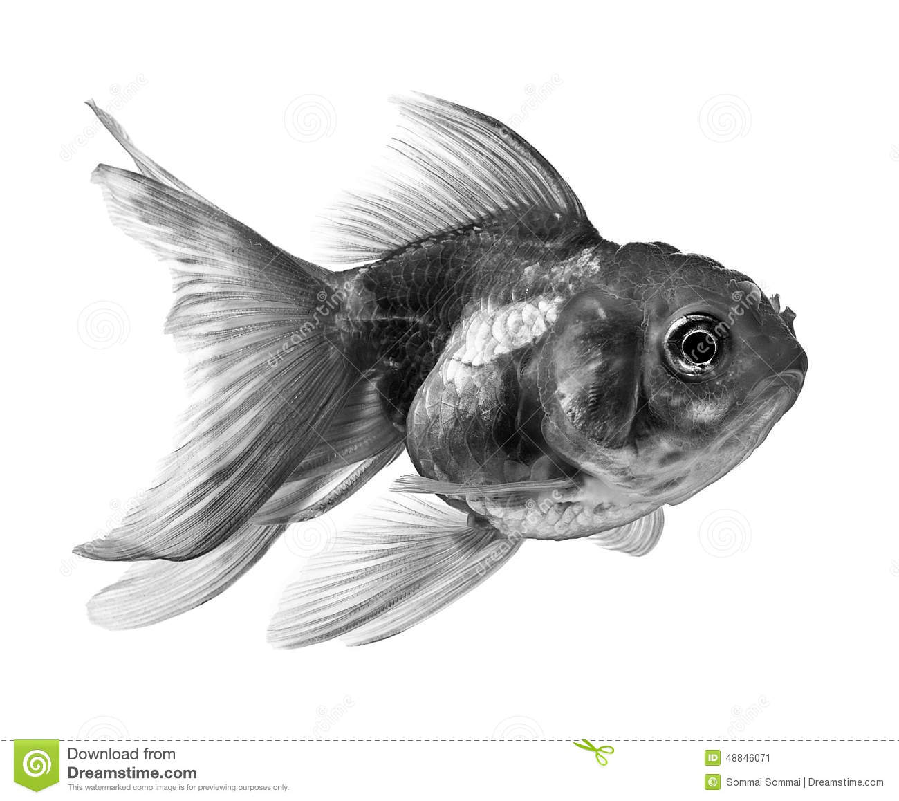 Black gold fish on white background