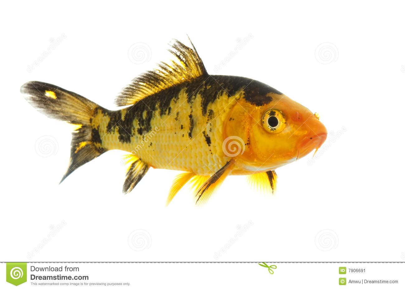 black and gold koi stock image image 7906691