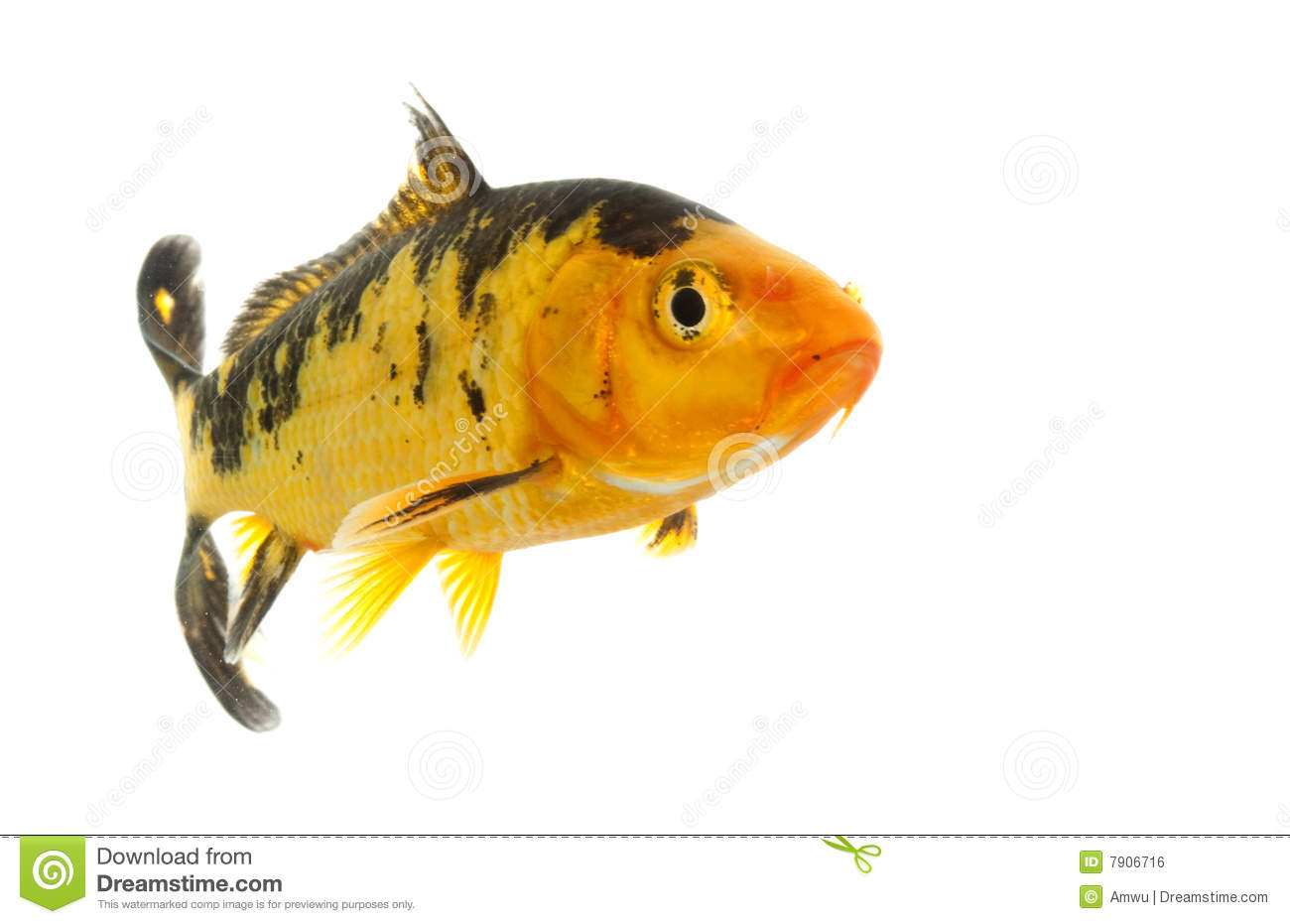 black and gold koi royalty free stock image image 7906716