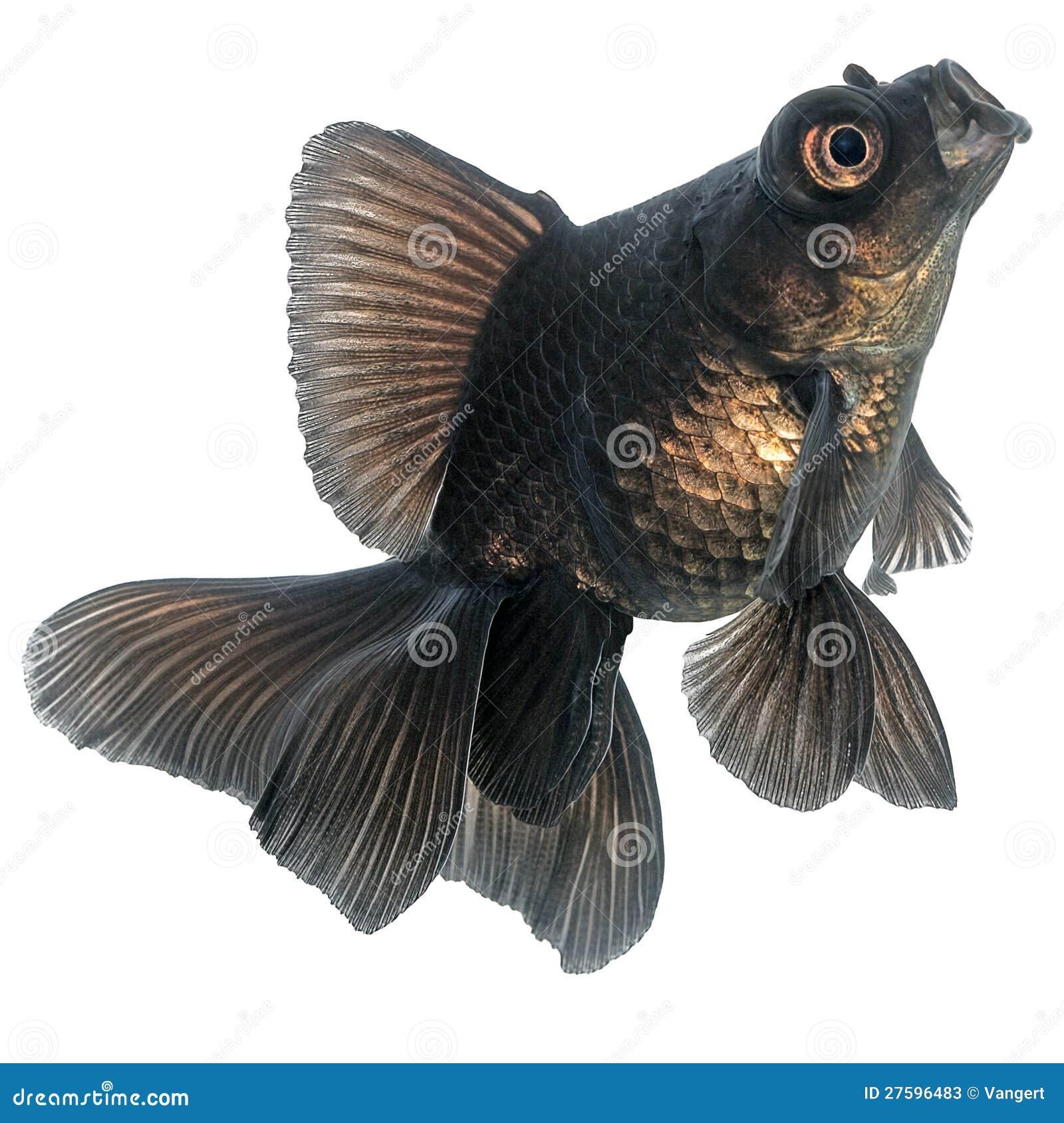 Black Goldfish Stock Photos - Image: 27596483