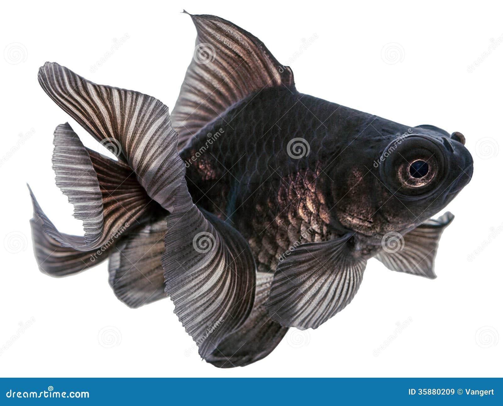 Black Goldfish On White Royalty Free Stock Images - Image ...