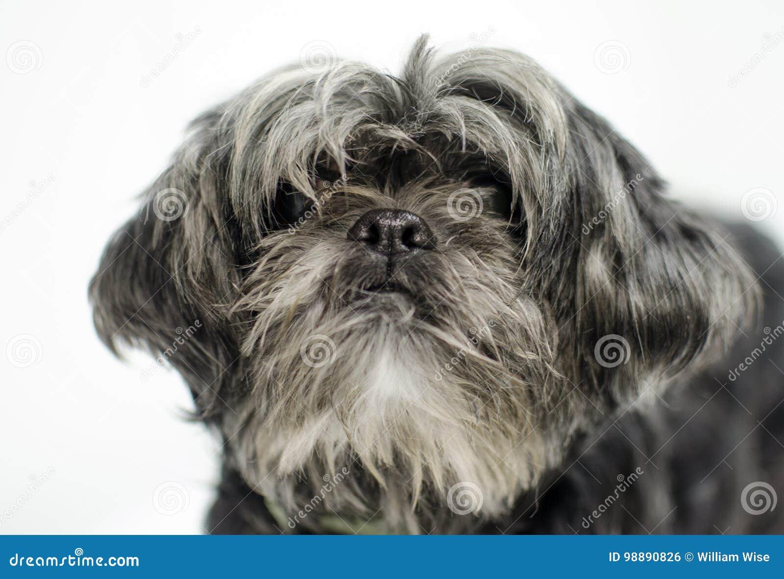 Shih Tzu Dog Stock Photo Image Of Monroe Cute Scruffy 98890826
