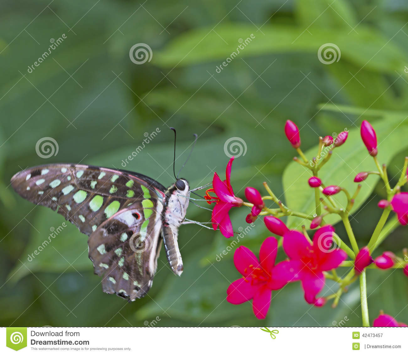 Black And Green Butterfly On A Pink Flower Stock Image Image Of