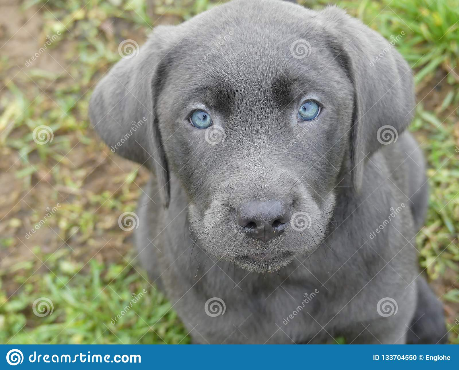 Retriever Charcoal Photos Free Royalty Free Stock Photos From Dreamstime