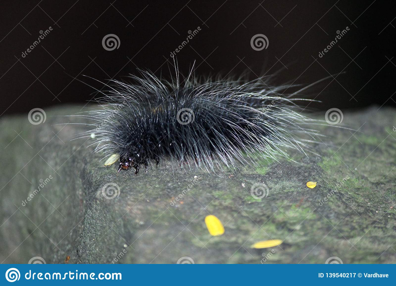 Black hairy caterpillars on tree trunk