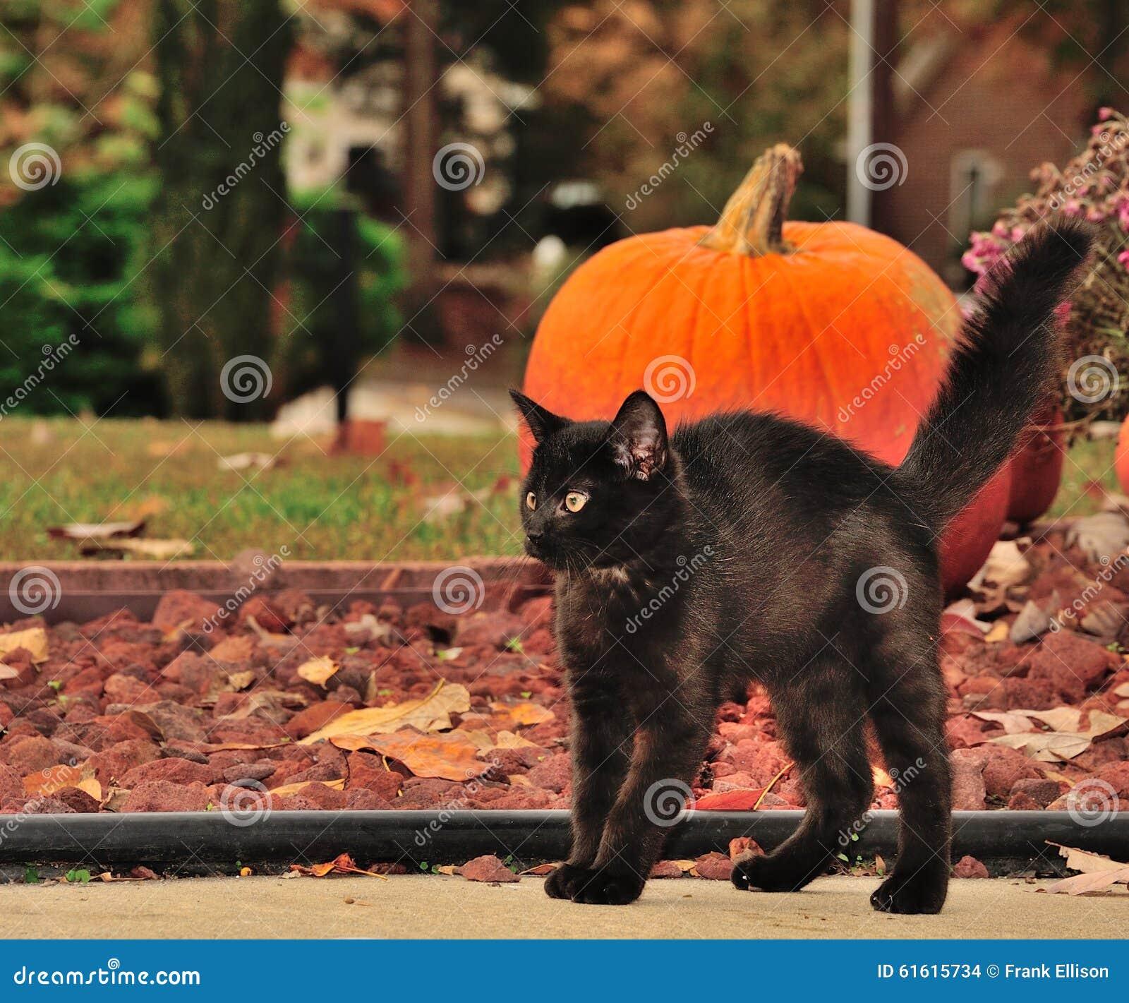 black halloween cat for autumn stock photo - image of humpback
