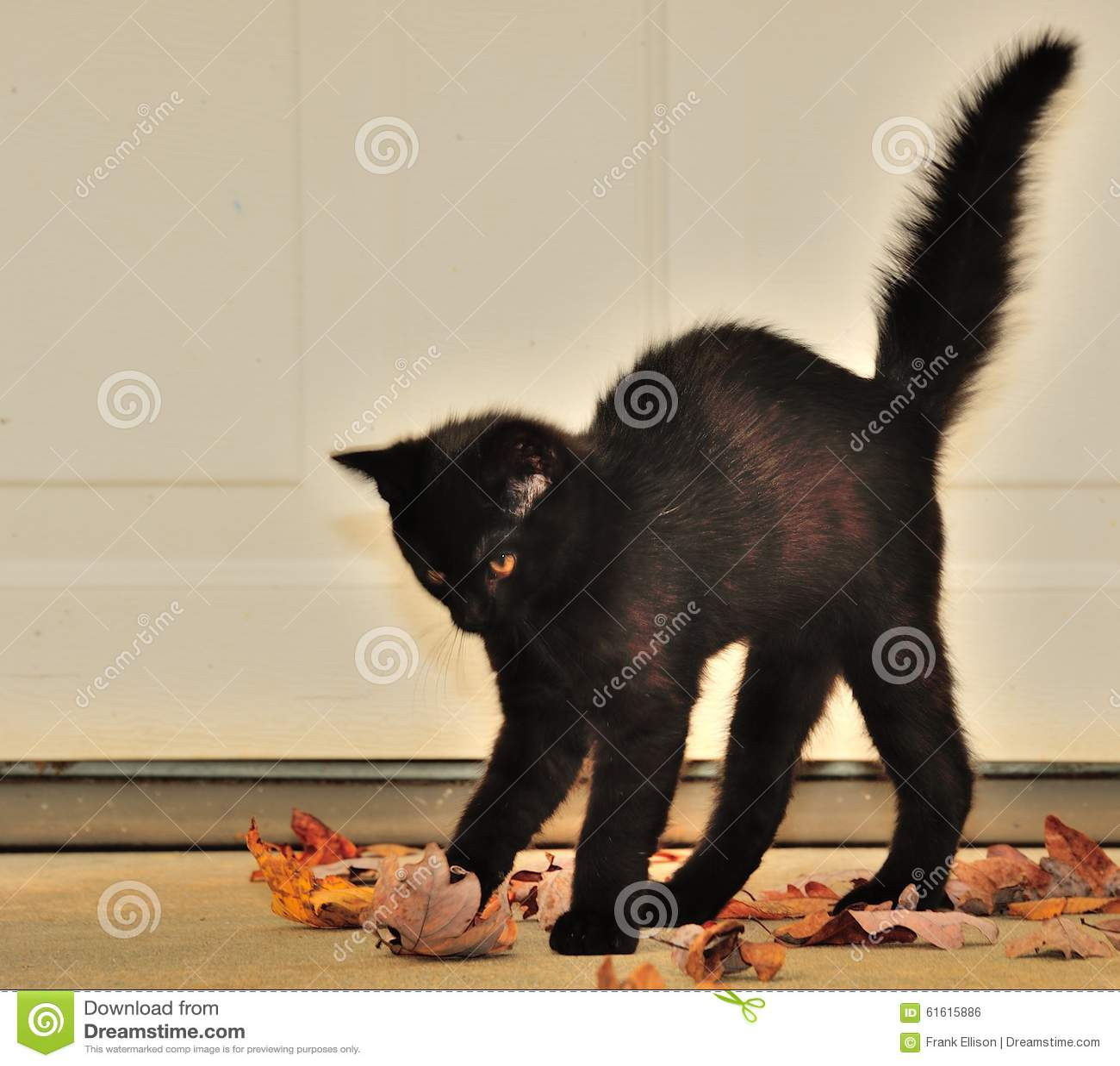 black halloween cat stock photo. image of pumpkin, bright - 61615886