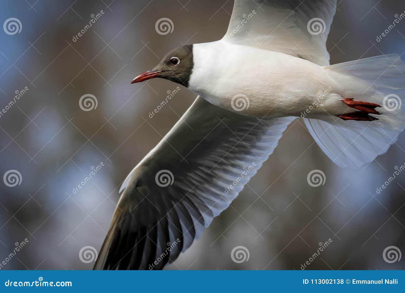 Black head seagull in flight