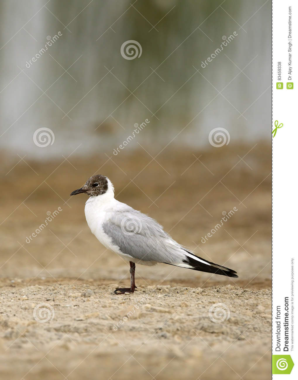 Black Headed Gull Stock Photo Image Of Beak Bird Blackheaded