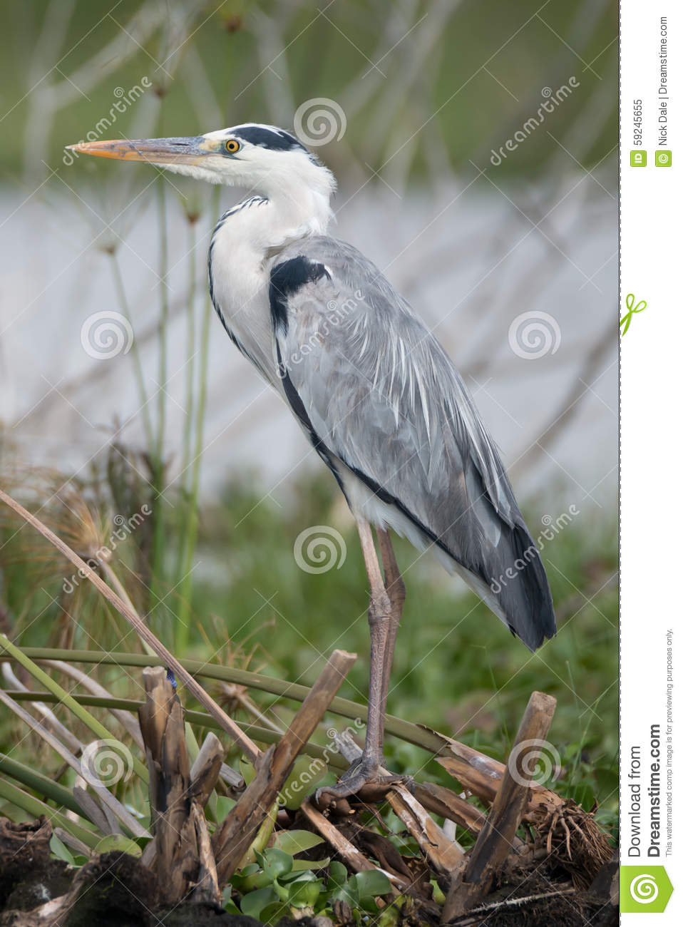 heron lake black singles Grey heron, ardea cinerea, single bird on ice black crowned night heron in the lake at macarthur park in los search results for heron and lake stock photos.