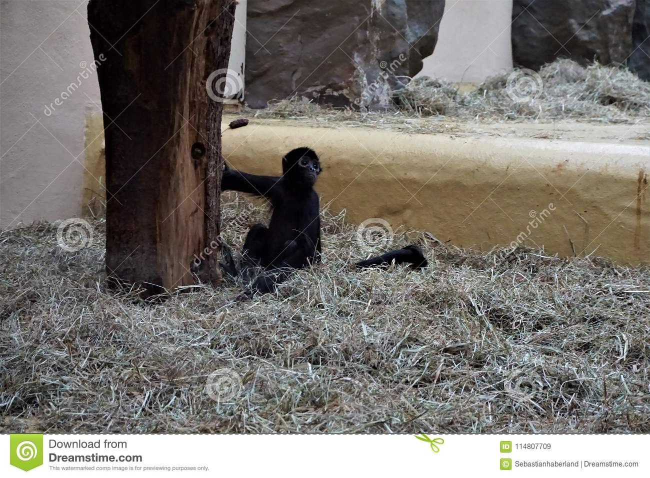 Black-headed spider monkey baby sitting in the straw