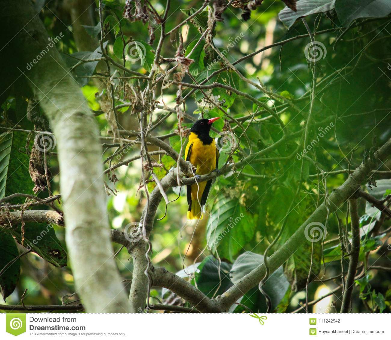 A Black Hooded Oriole Searching For Food In The Woods Stock Photo