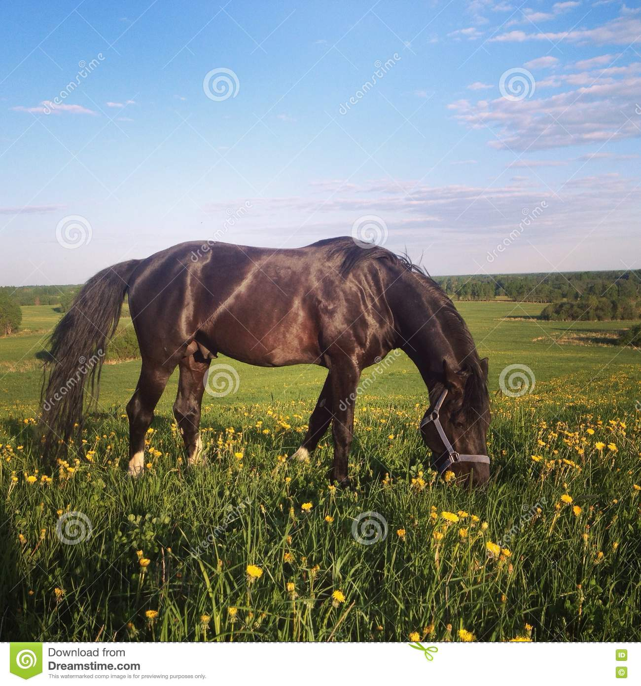 Black horse on a field