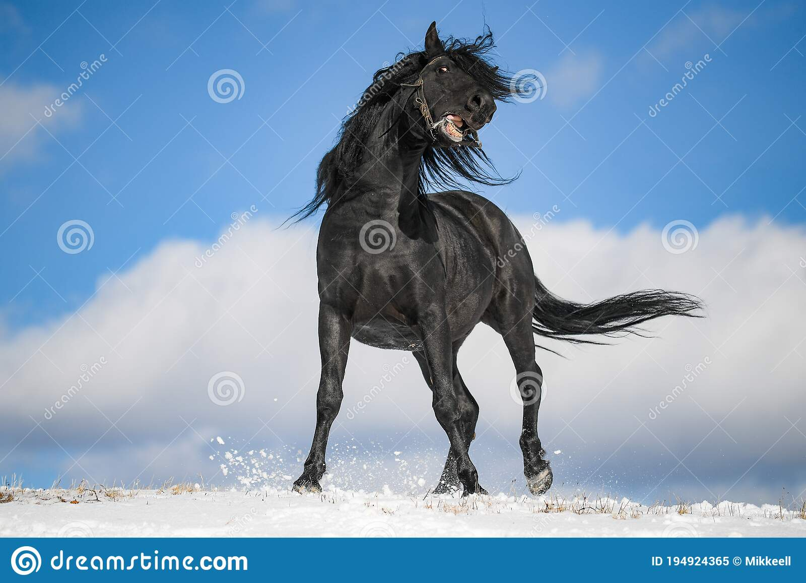 4 339 Black Horse Snow Photos Free Royalty Free Stock Photos From Dreamstime