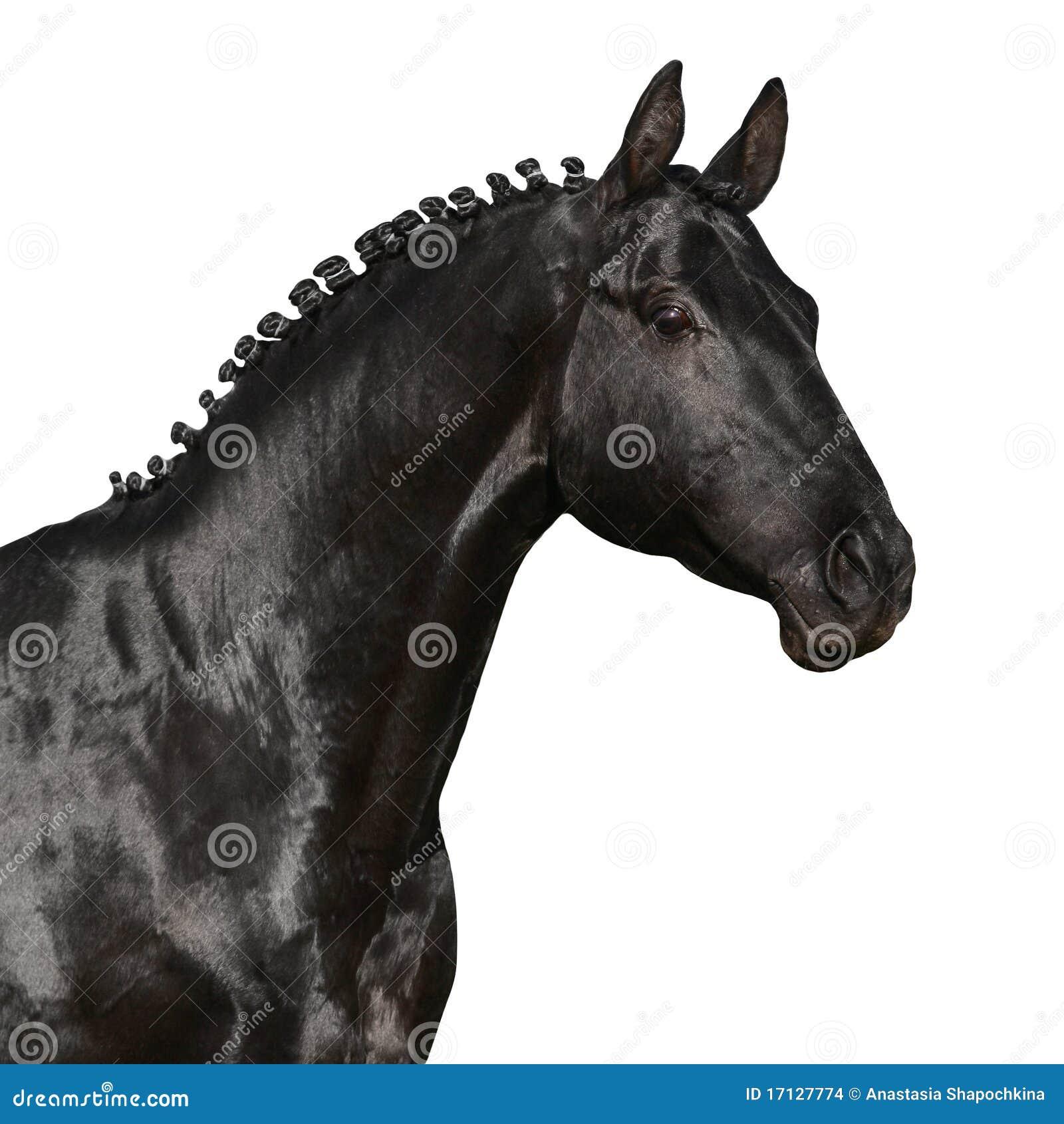 Black Horse Head Isolated On White Stock Photo Image Of Golden Stallion 17127774