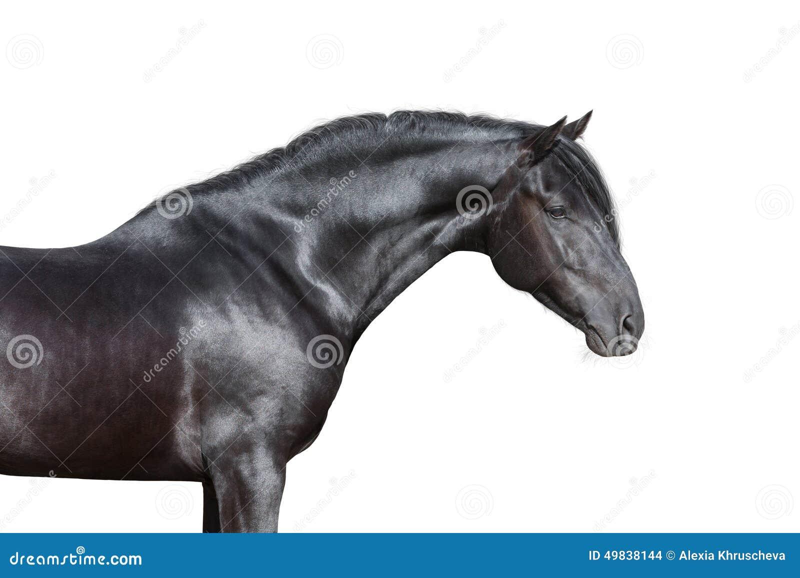 Black Horse Head On White Background Stock Photo Image Of Elegance Head 49838144