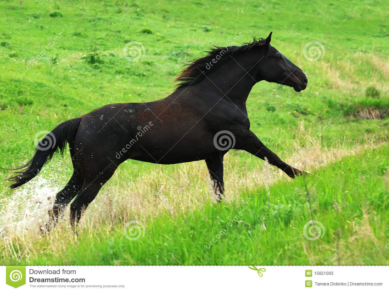Beautiful black horse running gallop on pasture Images Of Black Horses Running