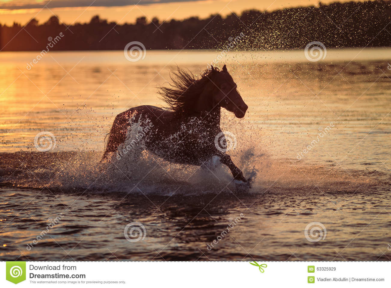 black horse running in water at sunset stock image image