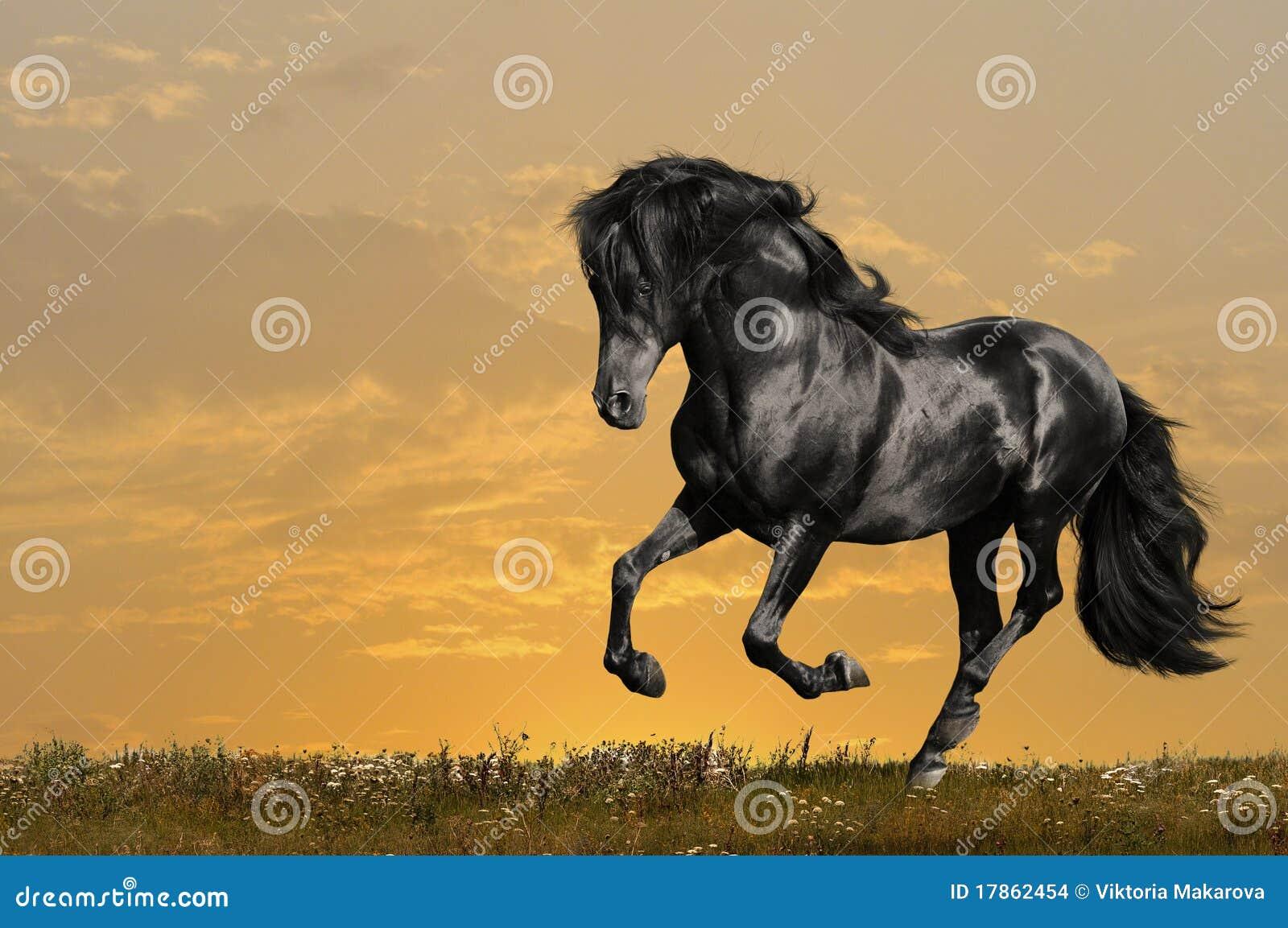 Black horse runs gallop