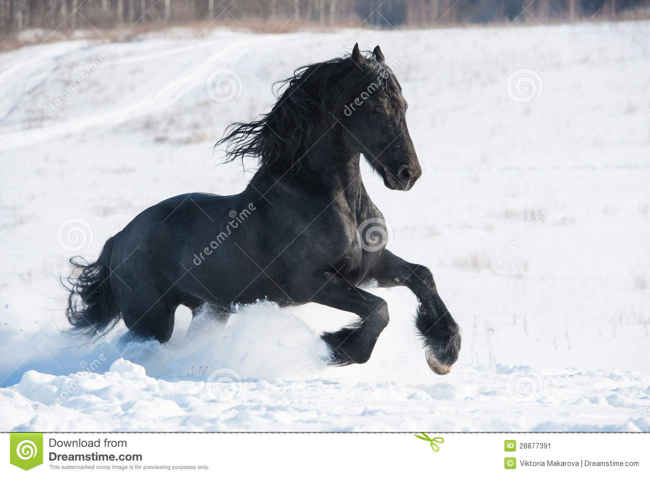 Black Horse Runs Gallop In Winter Stock Image Image Of Purebred Season 28877391
