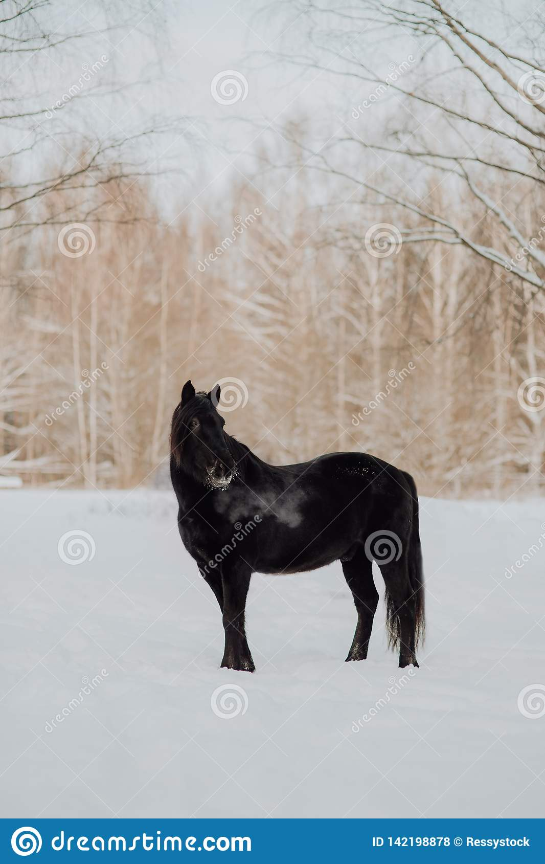 Black Horse Stand In Winter On The White Snow In Forest Stock Photo Image Of Outdoors Amazing 142198878