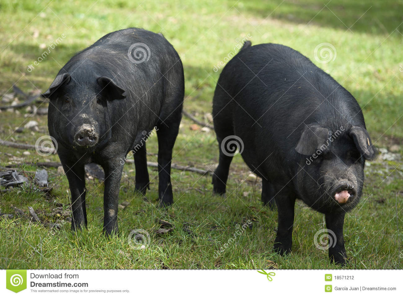 Black Iberian Pig 2 stock photo. Image of rico, negra ...