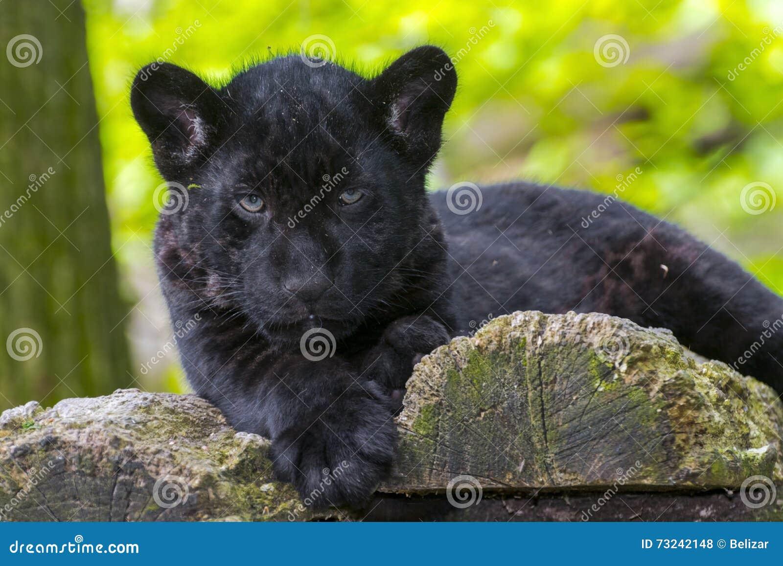 Black Jaguar Cub Stock Photo - Image: 73242148 - photo#19