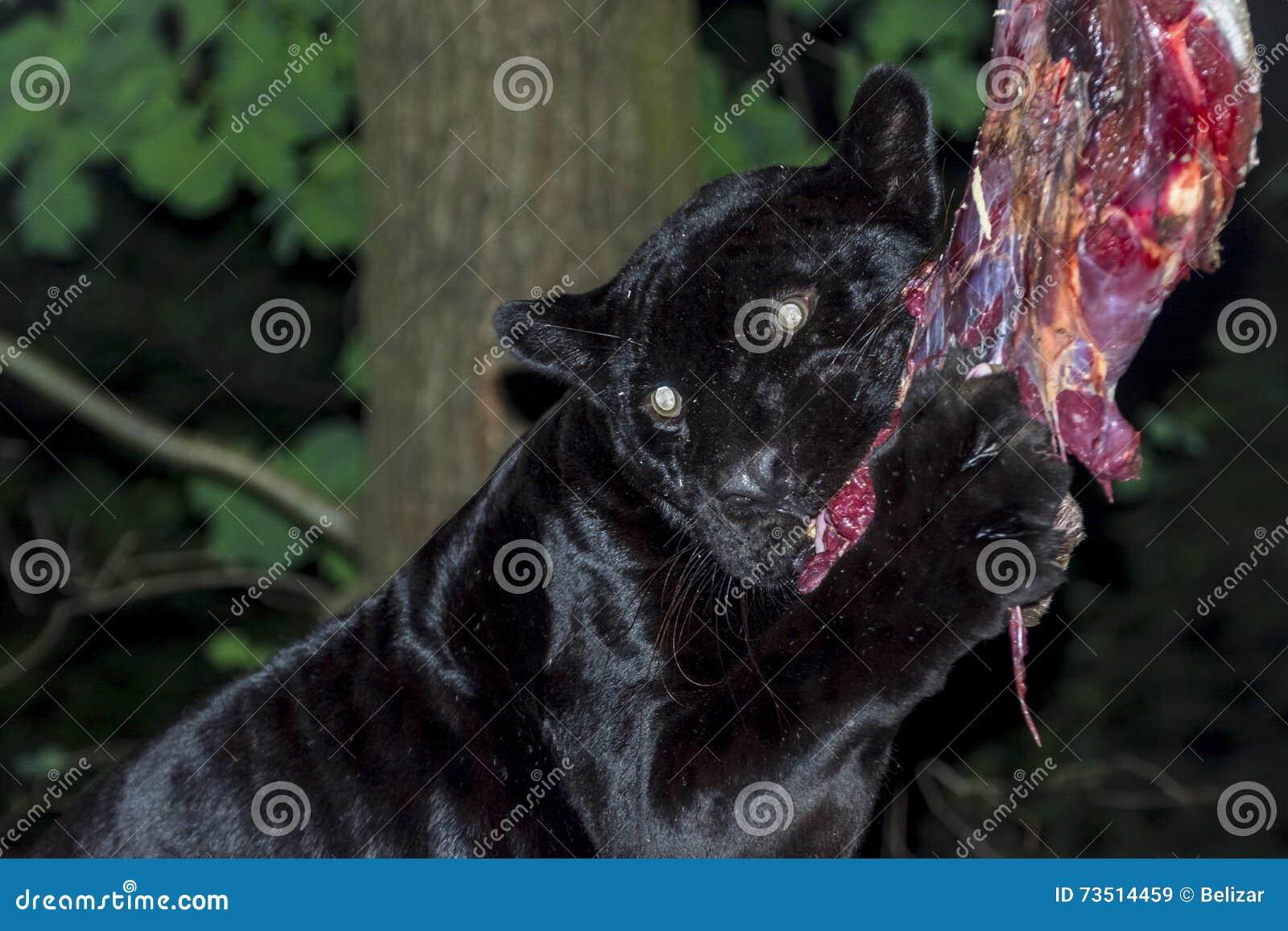 black jaguar lunch stock image image of pantherinae 73514459